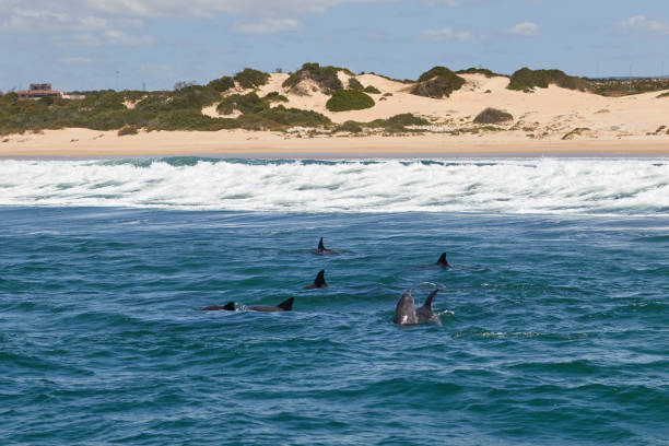 A pod of bottlenose dolphins stock photo