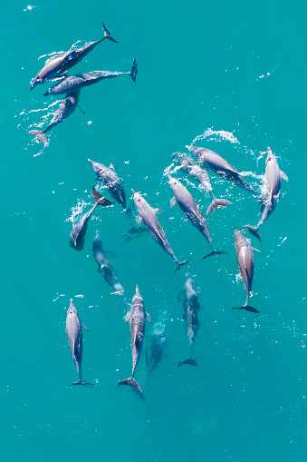 This species of dolphin is frequently seen close to shore along the Noosa National Park coastline