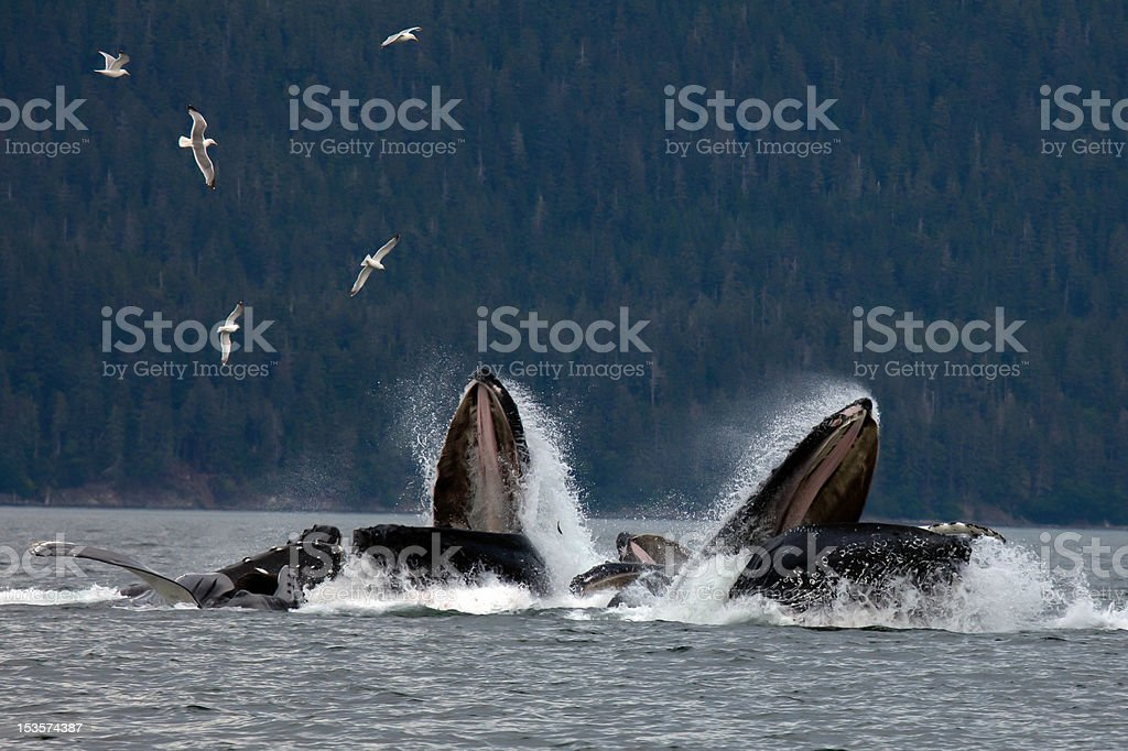 Pod of Humpback Whales stock photo