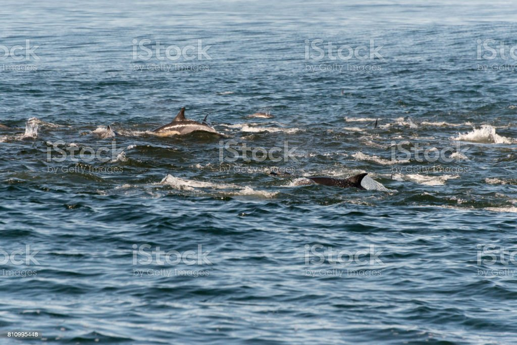 A pod of long beaked common dolphins feeding from a bait ball of the coast of Gansbaai, South Africa stock photo