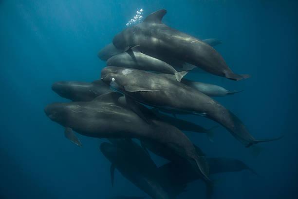 Pod of long-finned pilot whales Gibraltar Straits stock photo
