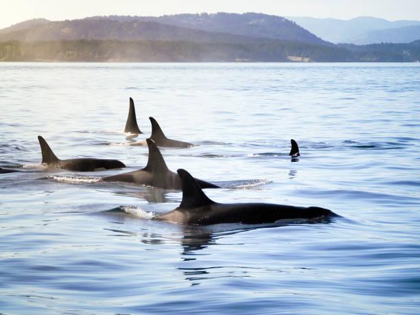 Pod of Orca (Killer Whales) stock photo