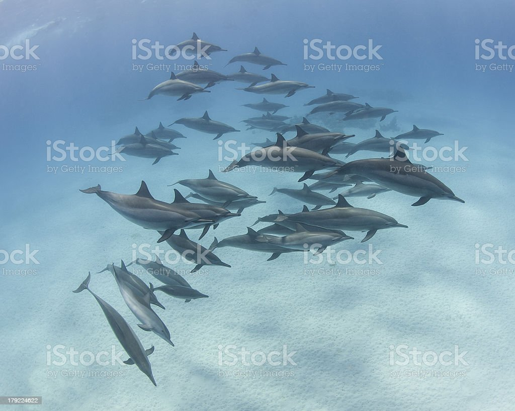 Pod of spinner dolphins in a sandy lagoon stock photo