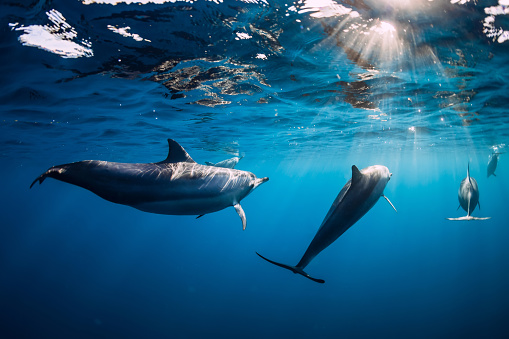 istock Pod of Spinner dolphins underwater in blue ocean with sun light 1190591843