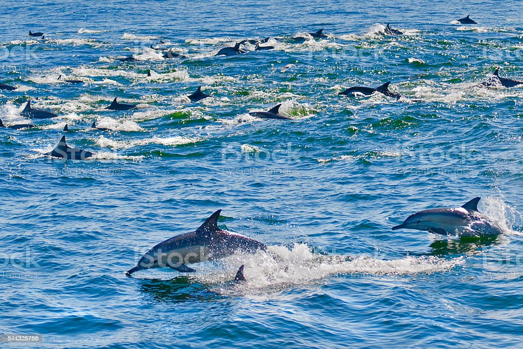 Pod of striped dolphins surfing, Cape Town, South Africa stock photo