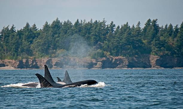 Pod Of Transient Orcas Killer whales off San Juan Islands puget sound stock pictures, royalty-free photos & images