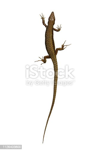 Podarcis syn Lacerta muralis isolated on white background ( wall lizard )