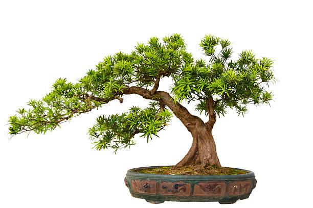 Podocarpus macrophyllus (Kusamaki ou Inumaki) Bonsai - Photo