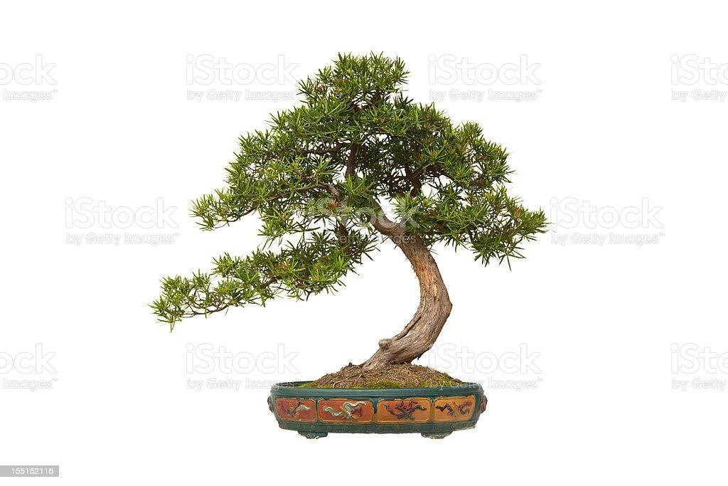Podocarpus macrophyllus (Kusamaki oder Inumaki) Bonsai – Foto