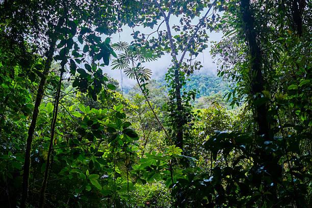 Podocarpus stock photo