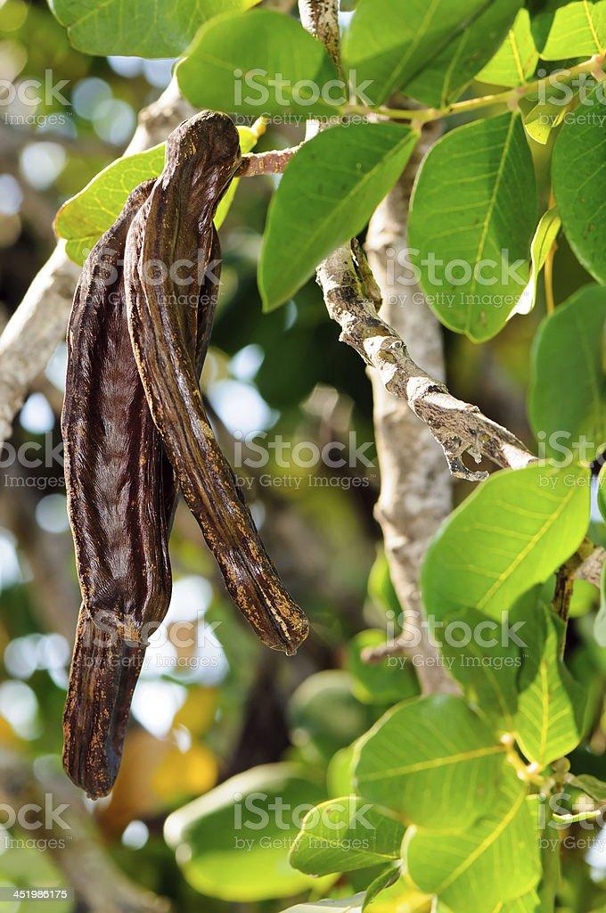 Elementos de alfarroba tree (Ceratonia siliqua) - foto de acervo