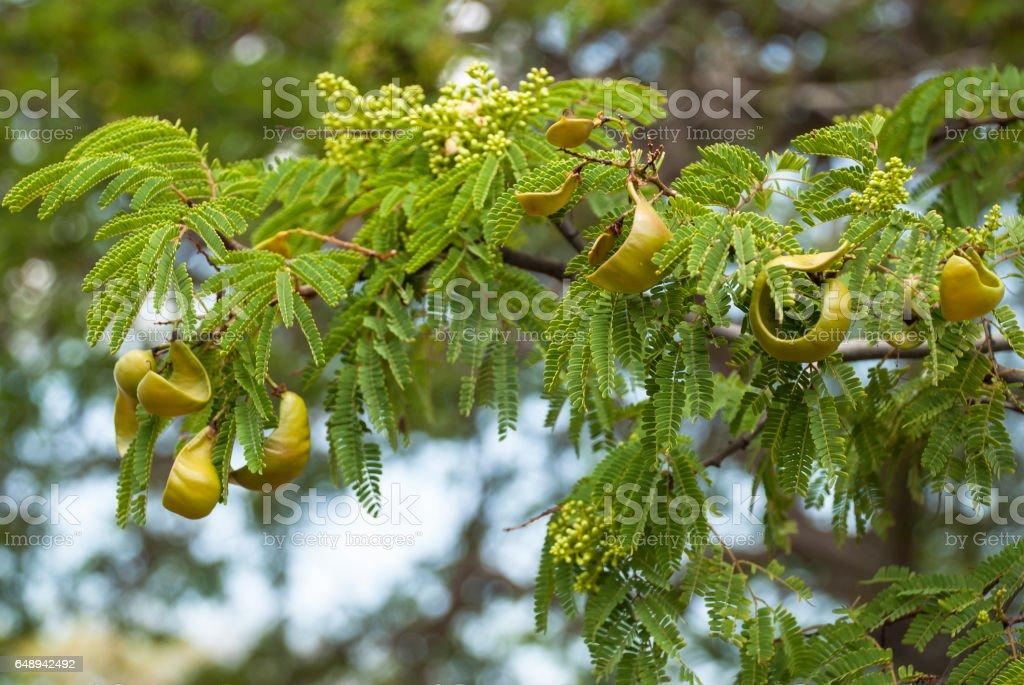 Pods of Divi Divi tree stock photo