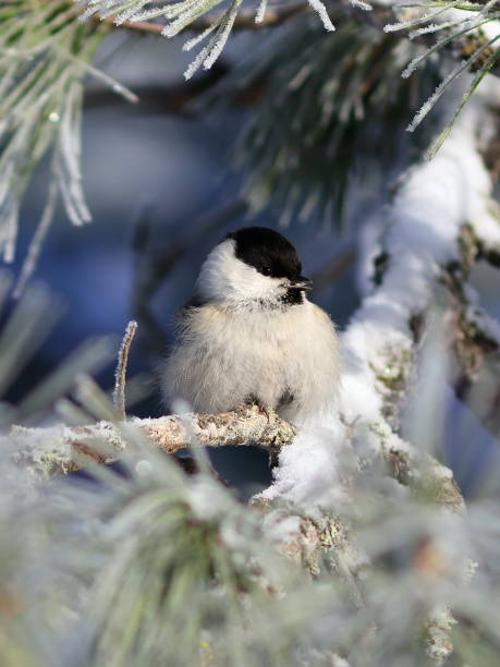 Poecile montanus. Willow tit closeup Poecile montanus. Willow tit among the pine needles and branches of cedar on a frosty day chickadee stock pictures, royalty-free photos & images