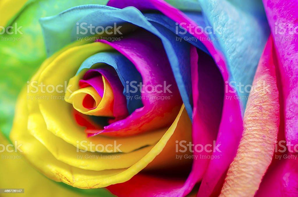 Poetische bunte Rose – Foto