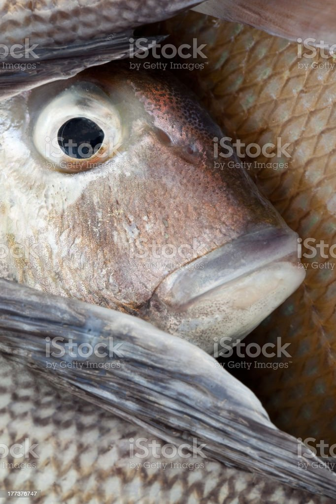 Pogie Fish Eye stock photo
