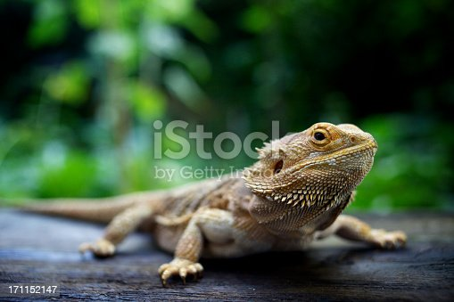 Close up of Bearded Dragon, standing on wood, looking at camera