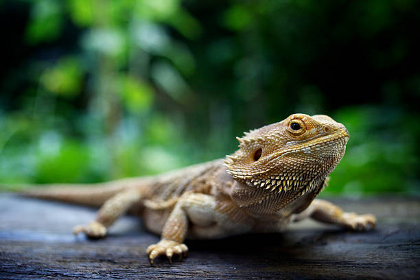 A pogona lizard sitting on a wooden surface in a forest stock photo