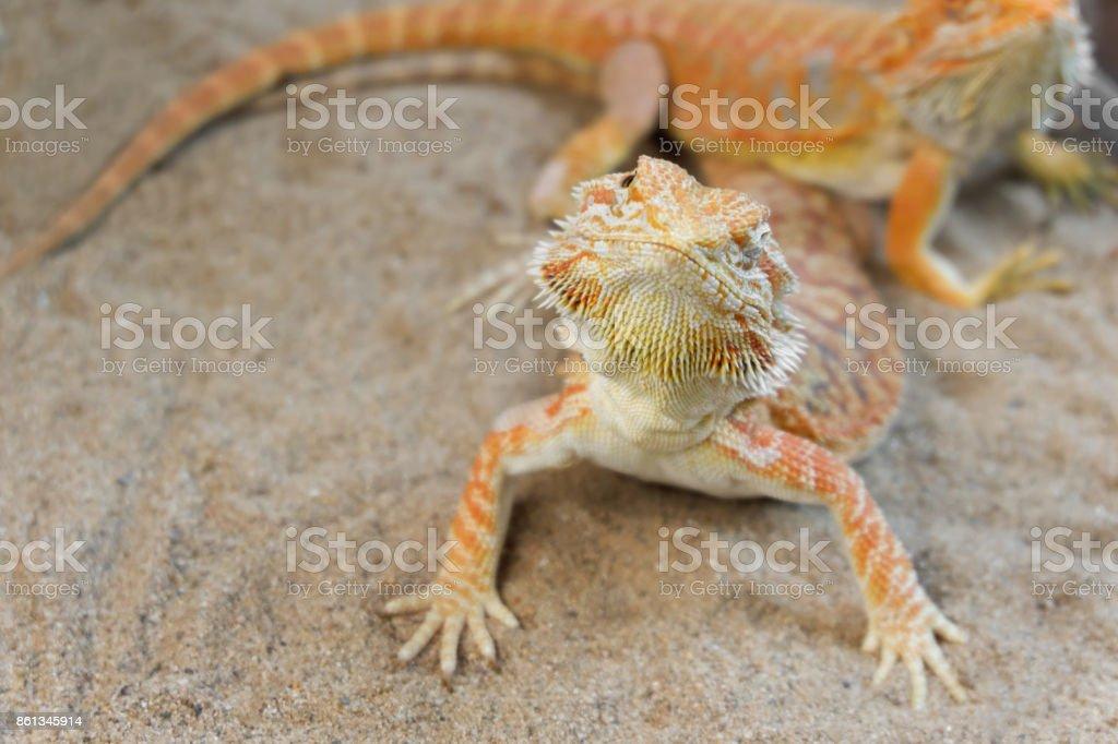 Pogona or Bearded dragon on sand stock photo