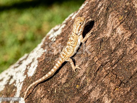 Pogona vitticeps, the central (or inland) bearded dragon, is a species of agamid lizard occurring in a wide range of arid to semiarid regions of Australia