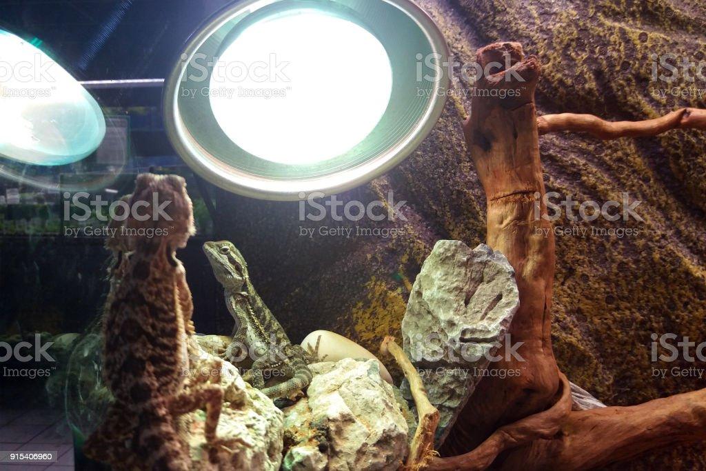 Pogonas inside a terrarium stock photo