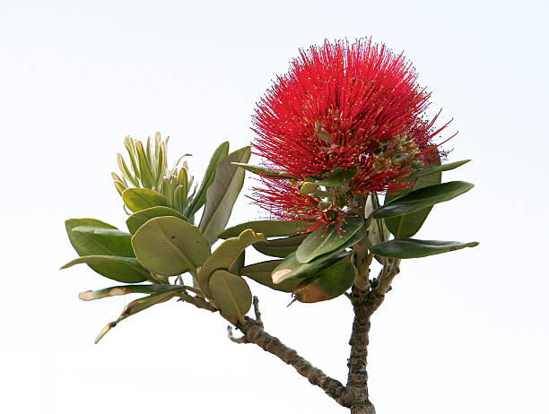 Pohutukawa flower - Isolated