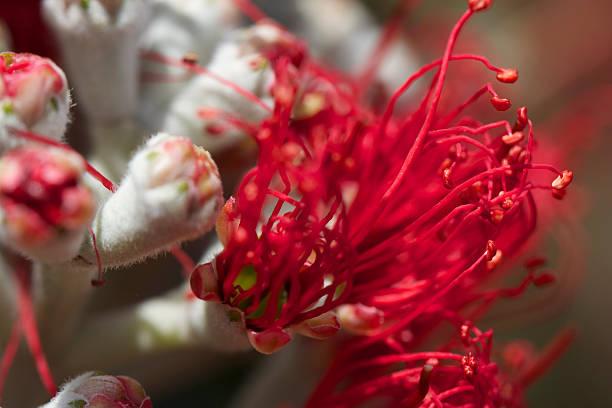 Pohutukawa flower opening