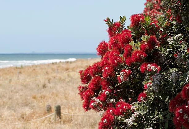 Pohutukawa flowers over beach