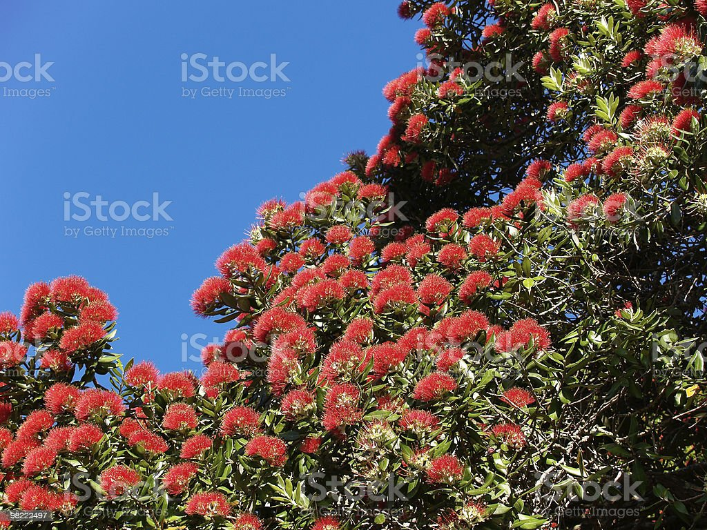 Pohutukawa in full red bloom. royalty-free stock photo