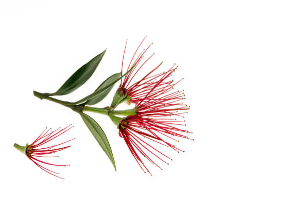 Pohutukawa tree flowers isolated on white background with copy space picture id905348902?b=1&k=6&m=905348902&s=612x612&w=0&h=off3l7vs5ns2ssv4g6u db0xwt2dnbuei25swckdgbo=