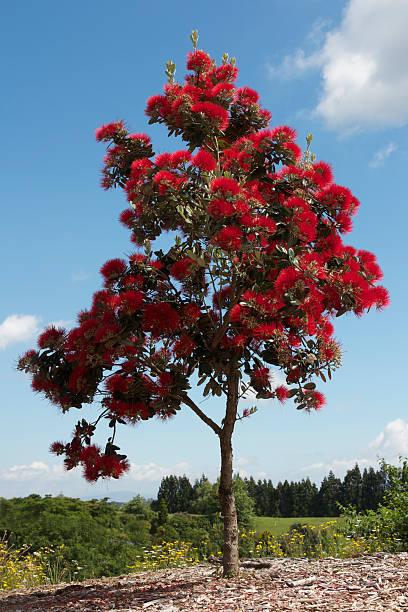 Pohutukawa tree in full bloom