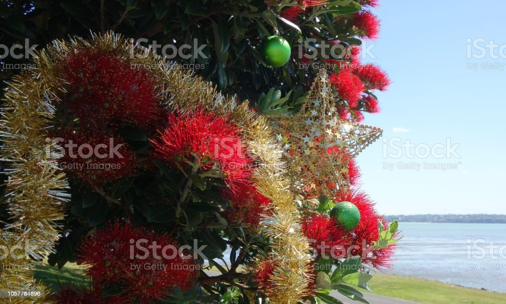 Pohutukawa Tree New Zealand Christmas Tree Stock Photo More