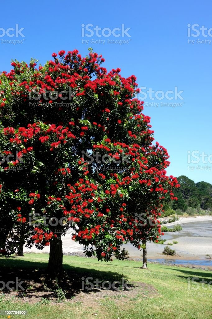New Zealand Christmas Tree.Pohutukawa Tree New Zealand Christmas Tree Stock Photo Download Image Now
