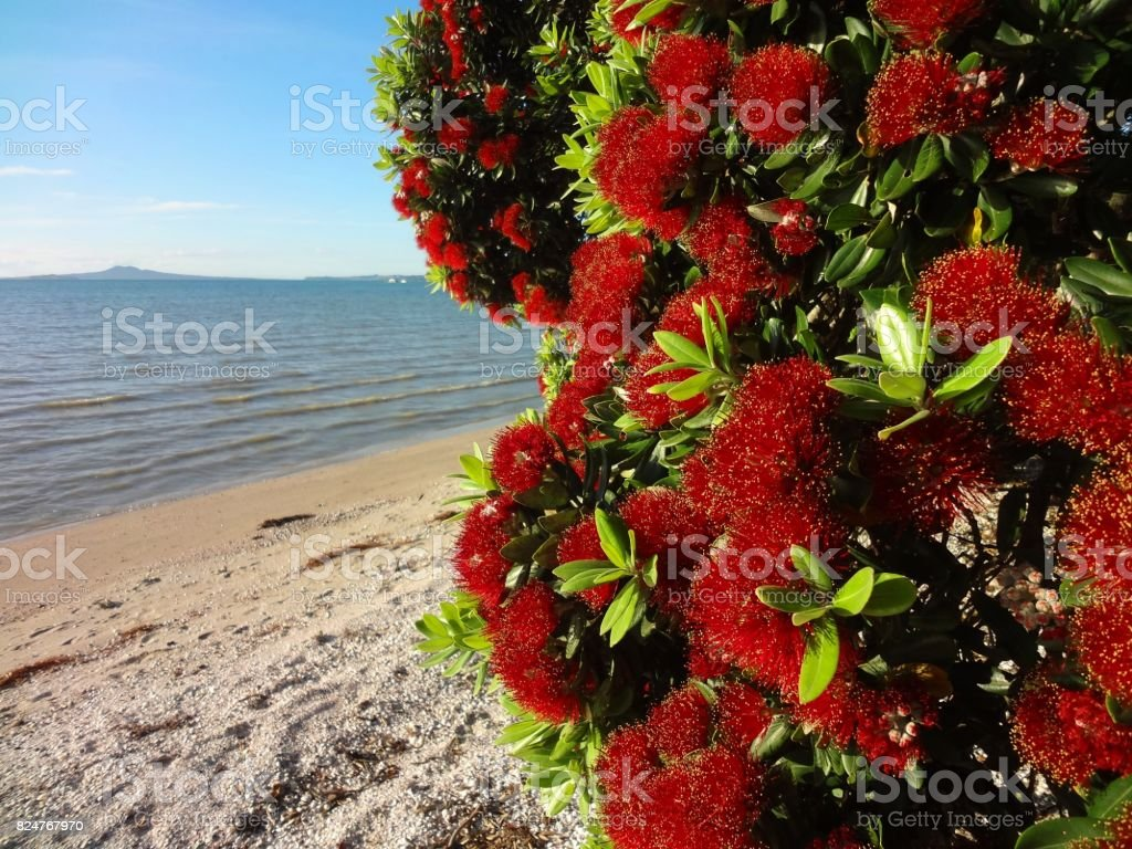 Pohutukawa Tree with Red Blossoms - New Zealands Christmas Tree stock photo