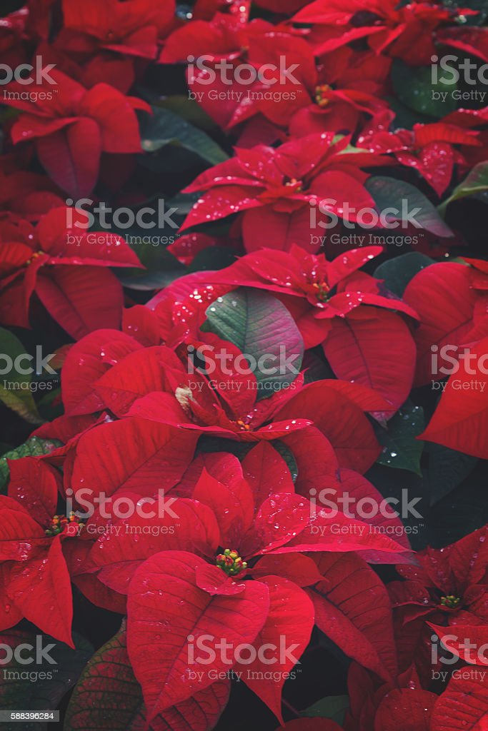 Poinsetia red flowers stock photo