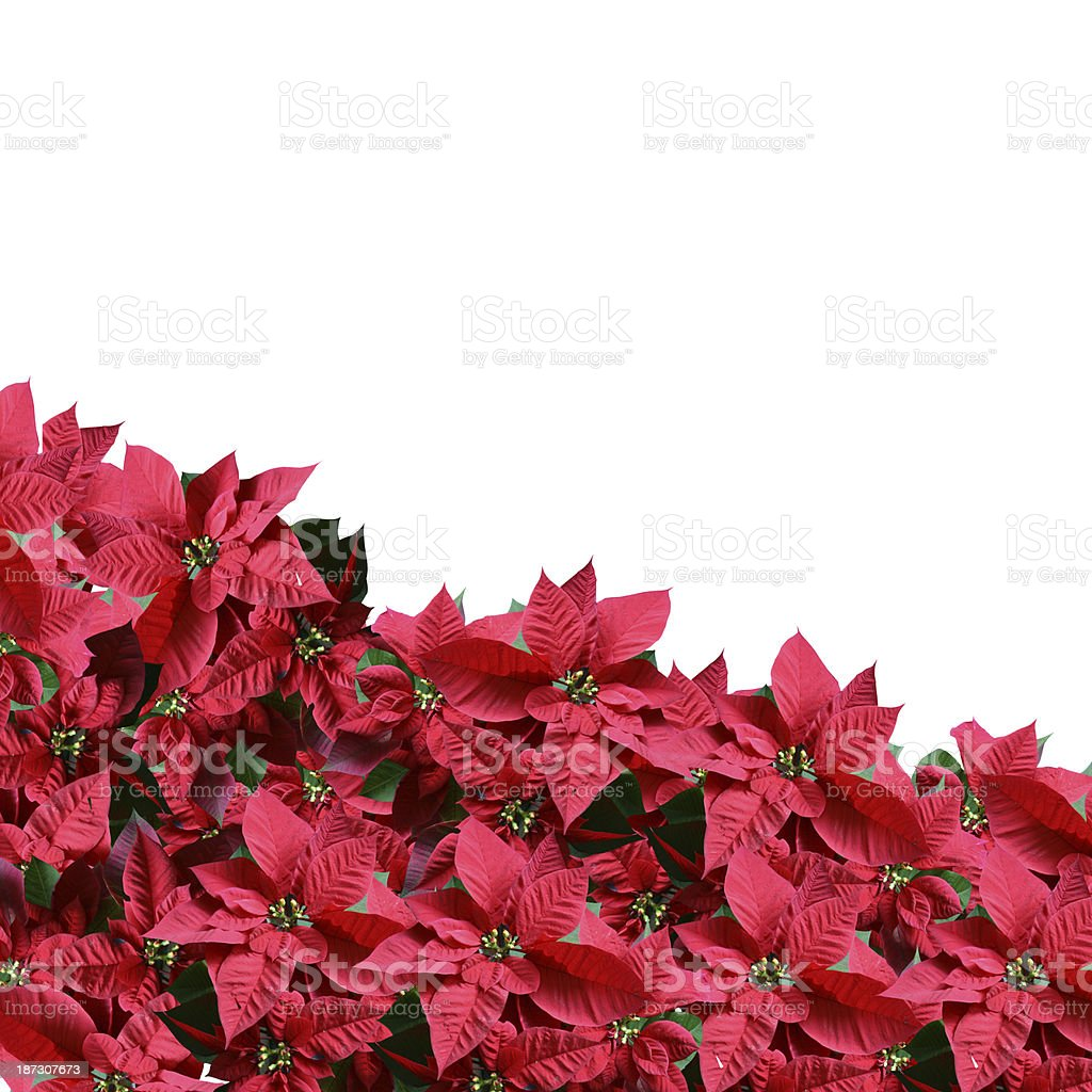 Poinsettia border royalty-free stock photo