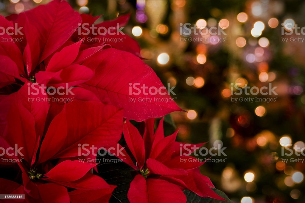 Poinsettia & Christmas Lights Background stock photo