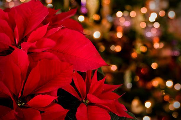 poinsettia & christmas lights background - kerstster stockfoto's en -beelden