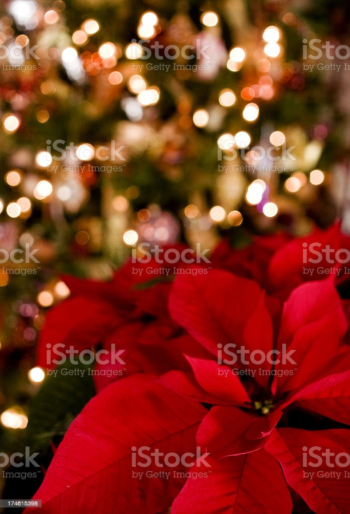 Poinsettia & Christmas Lights Background royalty-free stock photo
