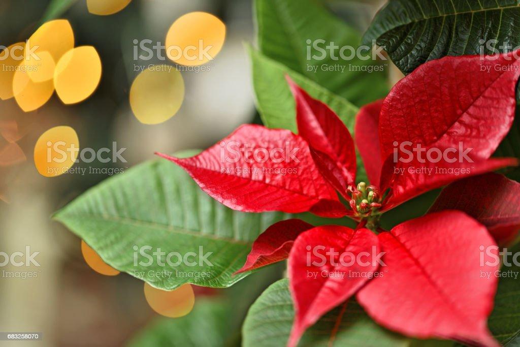 Poinsettia Close-up Lizenzfreies stock-foto