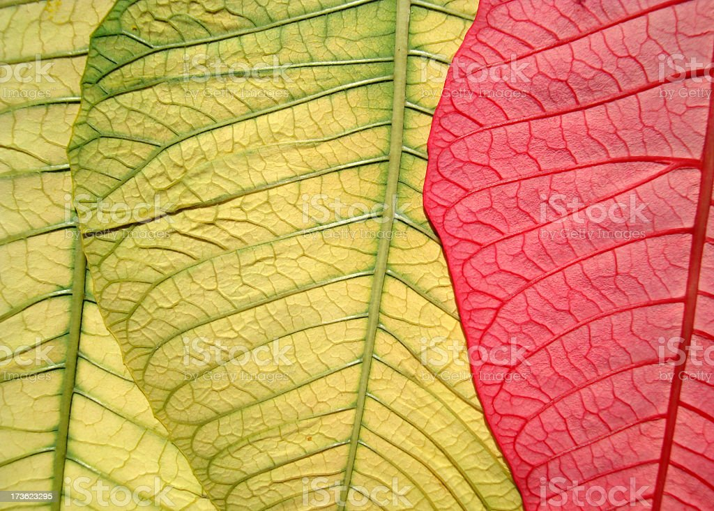 Poinsettia Detail royalty-free stock photo