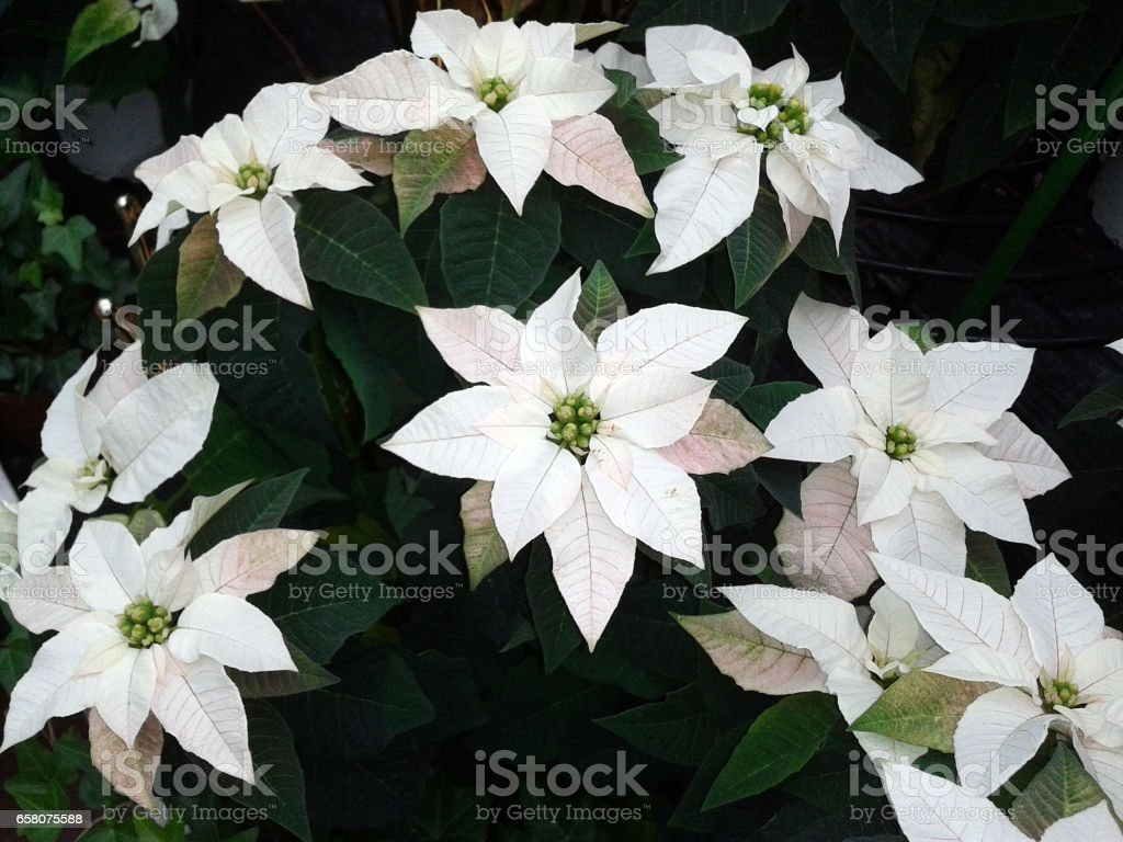 Poinsettia; Euphorbia; pulcherrim royalty-free stock photo