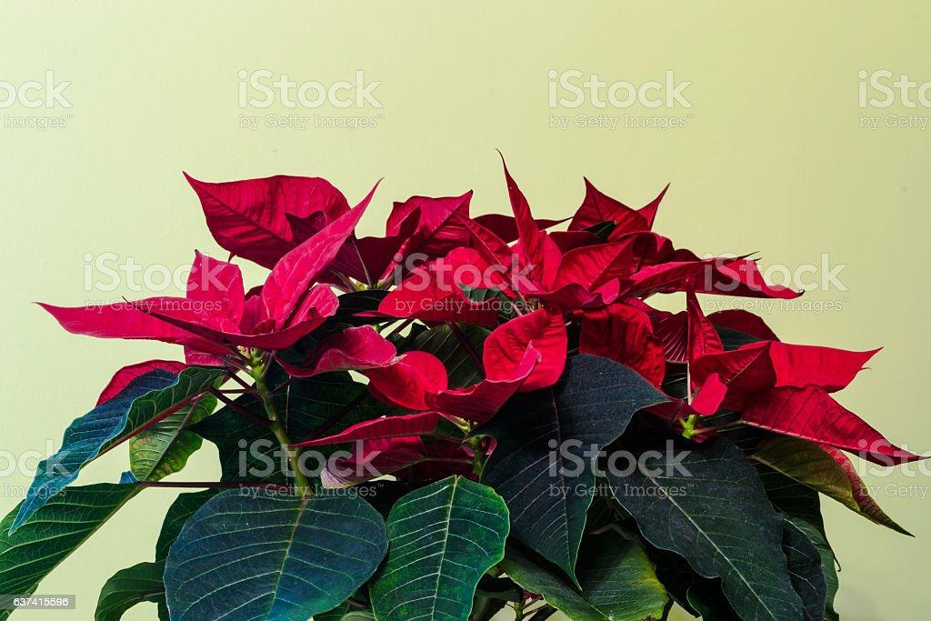 Poinsettia flower indoor. stock photo