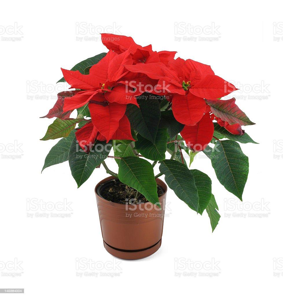 poinsettia flower isolated on white royalty-free stock photo