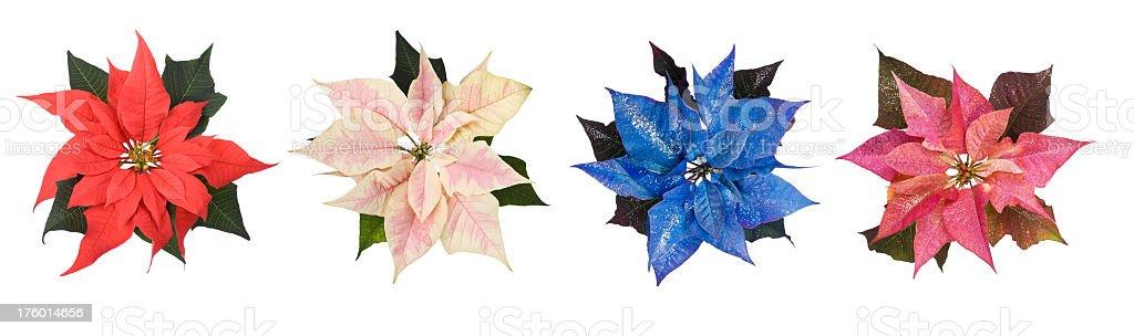 Poinsettia Flower royalty-free stock photo