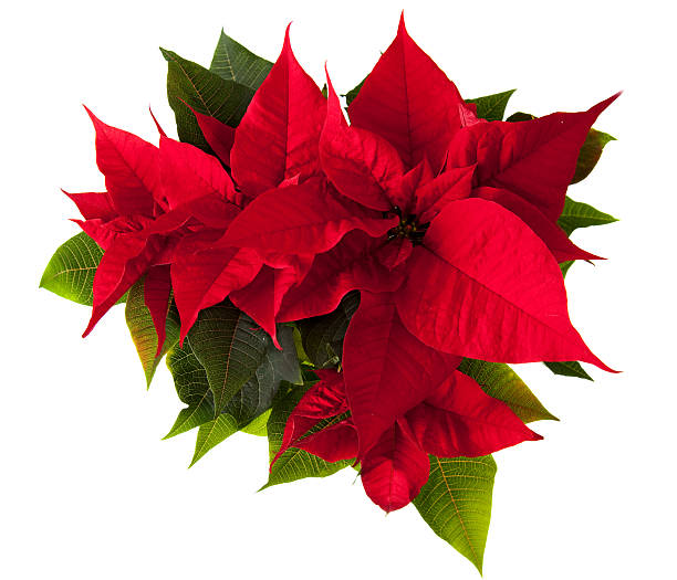 poinsettia flower - kerstster stockfoto's en -beelden