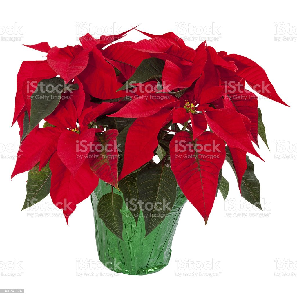 Poinsettia Isolated on White stock photo