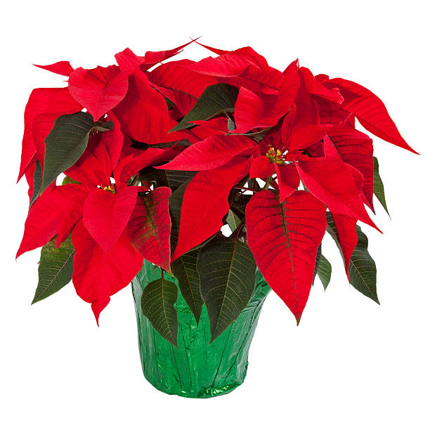 poinsettia isolated on white - kerstster stockfoto's en -beelden
