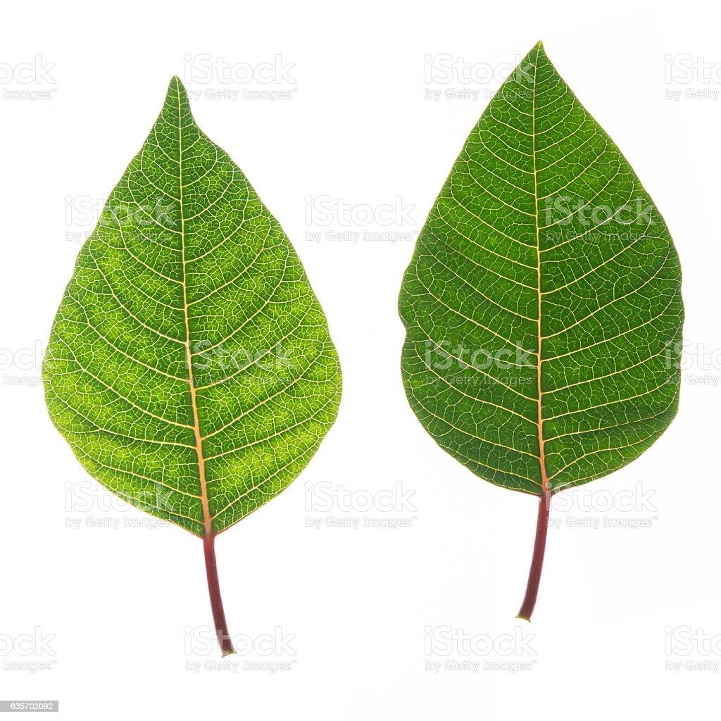 poinsettia leaf isolated white royalty-free stock photo