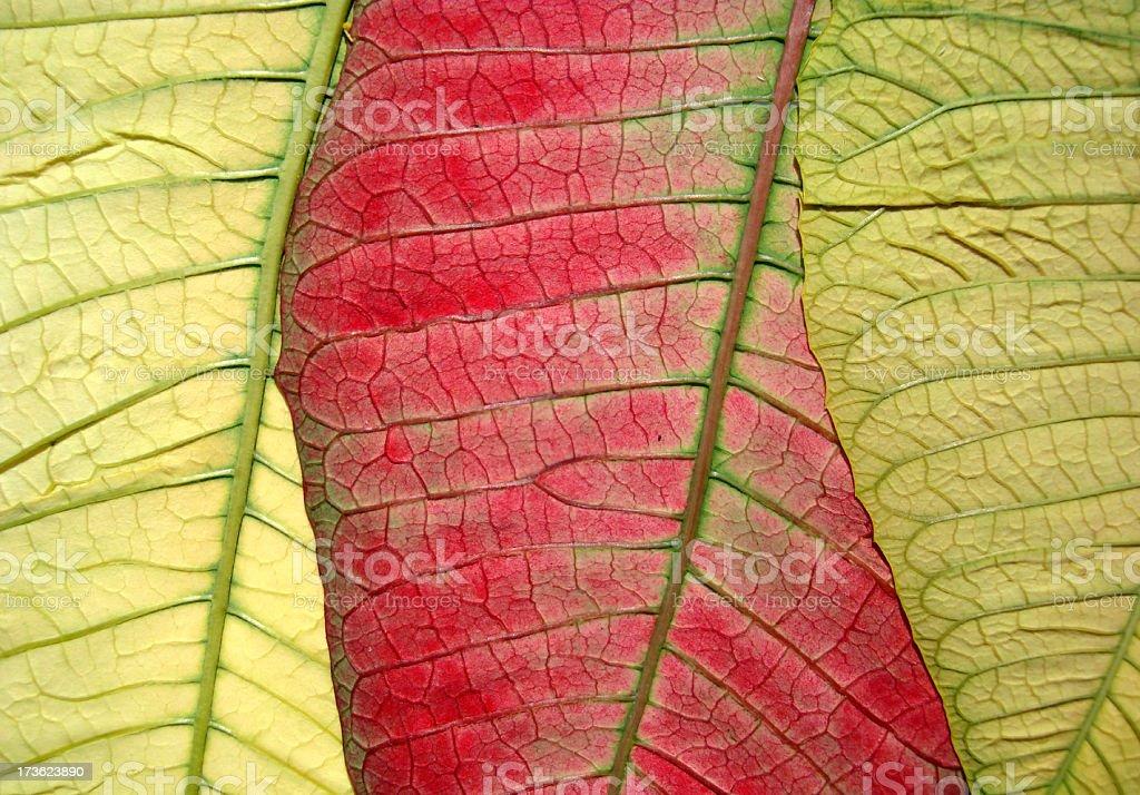 Poinsettia Leaf royalty-free stock photo