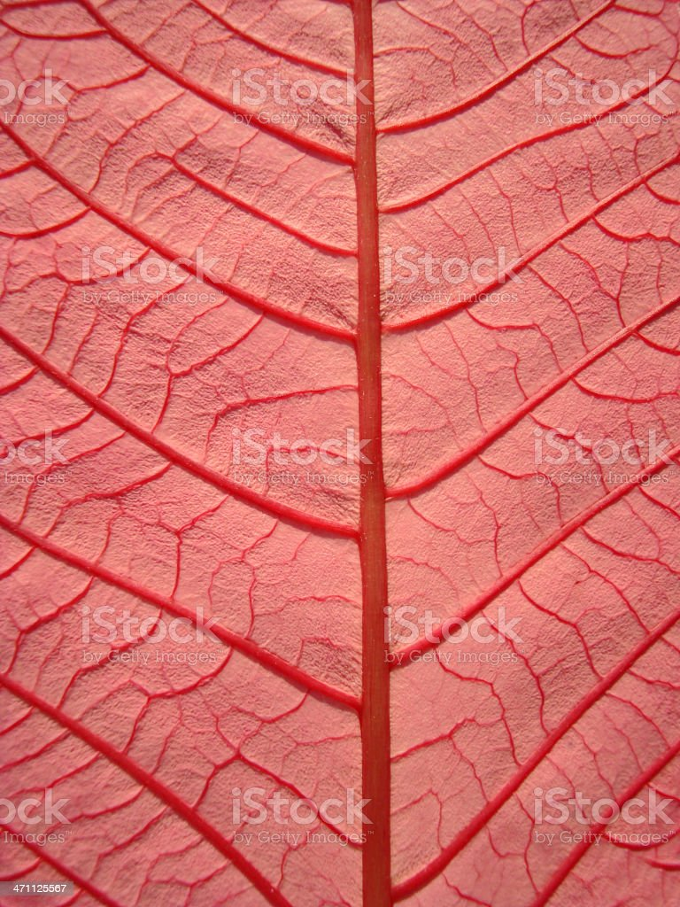 Poinsettia Leaf Pink royalty-free stock photo